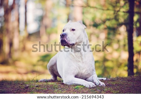 dogo argentino portrait in the forest - stock photo