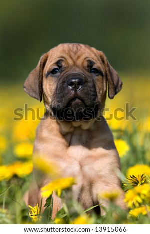 Dogo Canario puppy in yellow dandelions - stock photo