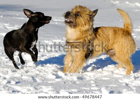 Dogs are playing in the snow. Motion blur. The breed of the dogs are a Cairn Terrier and the small dog is a mix of a Chihuahua and a Miniature Pinscher. - stock photo