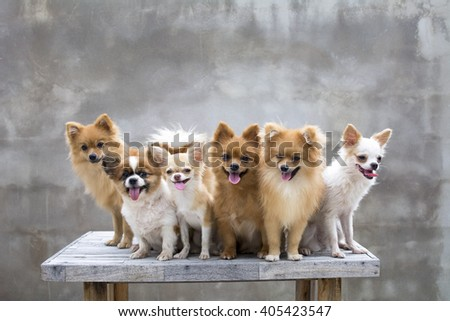 dogs family,four pomeranians two chihuahuas are sit on table whit concrete backgrounds - stock photo
