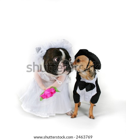 dogs getting married - stock photo