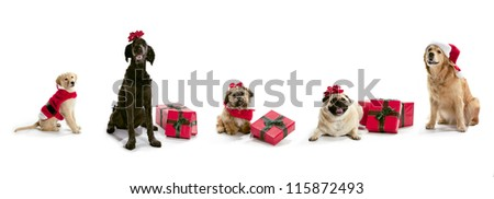 Dogs in Santa hats with Christmas presents sitting on a white background. - stock photo