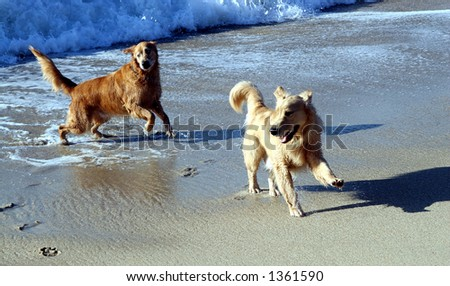 Dogs in the ocean. - stock photo