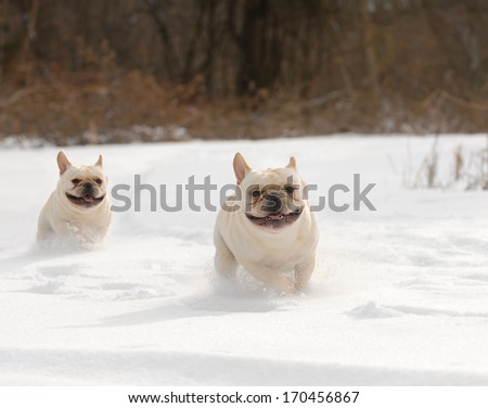 dogs in winter - two french bulldog running in the snow  - stock photo