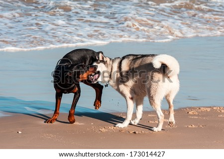 dogs playing and splashing in water at the beach - stock photo