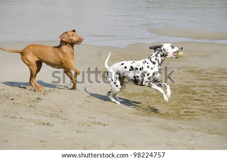 Dogs playing with tennis ball on river bank. - stock photo