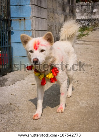Dogs receive a tika and floral necklace during the second day of the Tihaar festival in Nepal - stock photo