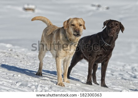 dogs while playing on the snow background - stock photo