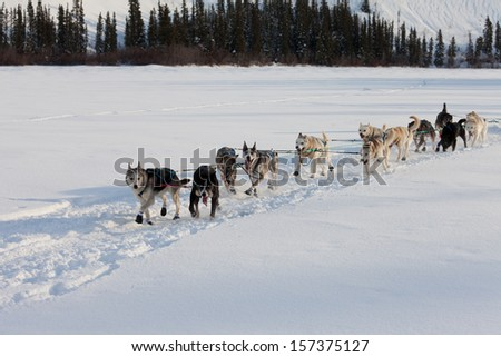Dogsled team of siberian huskies out mushing on snow pulling a sled that is out of frame through a winter landscape - stock photo