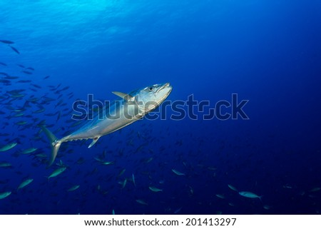 Dogtooth tuna hunting fusilier in clear crystal blue water of maldives - stock photo