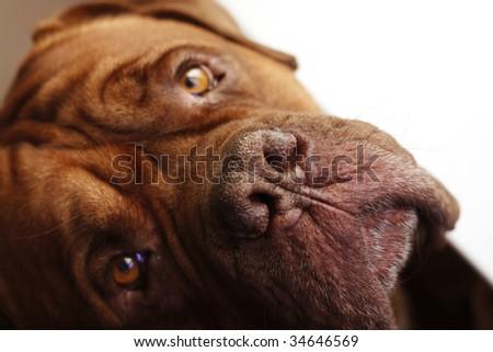 Dogue de Bordeaux - stock photo