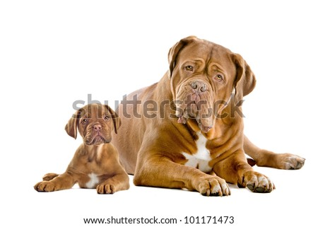 Dogue de Bordeaux adult and puppy in front of a white background - stock photo