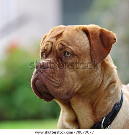 dogue de bordeaux - close up details of face - stock photo
