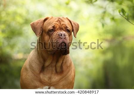 Dogue de Bordeaux dog outdoors, portrait - stock photo