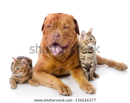 Dogue de Bordeaux (French mastiff) and two leopard cats (Prionailurus bengalensis). looking at camera. isolated on white background - stock photo