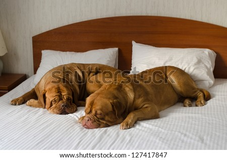 Dogue De Bordeaux funny couple in the bed - stock photo