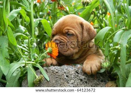Dogue de Bordeaux puppy smells a flower - stock photo