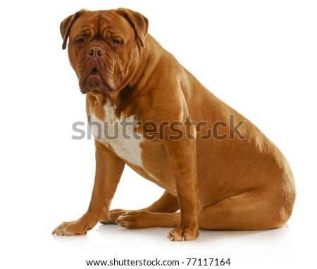 dogue de bordeaux sitting looking at viewer on white background - stock photo