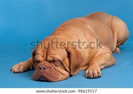 Dogue De Bordeaux sleeping against blue background - stock photo