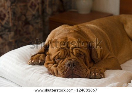 Dogue De Bordeaux sleeping in the bed portrait - stock photo