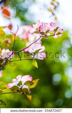 Dogwood flower - stock photo