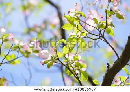dogwood flowers - stock photo