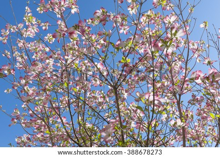 Dogwood flowers blooming outdoors  - stock photo