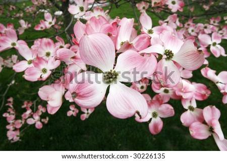 dogwood tree flowers - stock photo