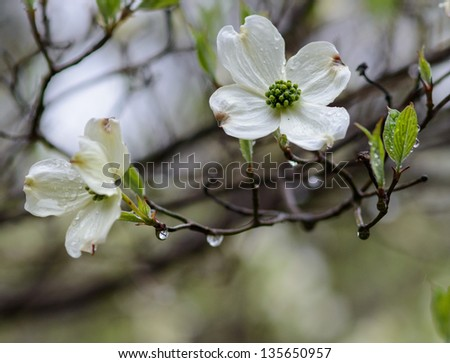 Dogwoods on a Rainy Day - stock photo