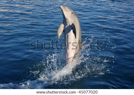 Dolphin acrobat during dolphins show in Caribbean sea, nature - stock photo