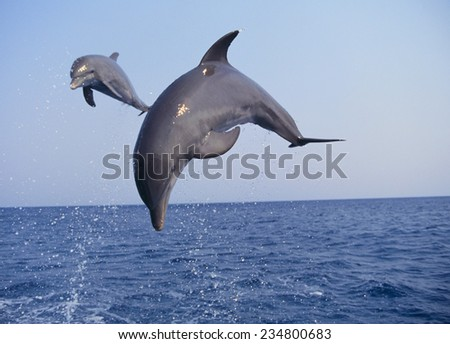 Dolphin Breaching the Oceans Surface - stock photo