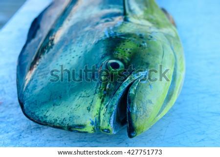 Dolphin fish, Mahi Mahi, Dorado  - stock photo