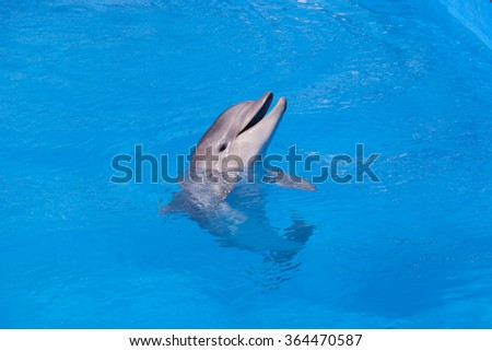 Dolphin in blue water close-up - stock photo