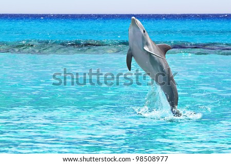 Dolphin jumping in the Caribbean Sea of Mexico - stock photo
