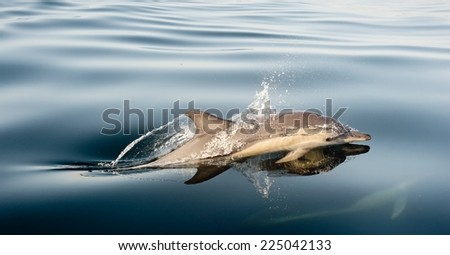 Dolphin swimming in the ocean - stock photo