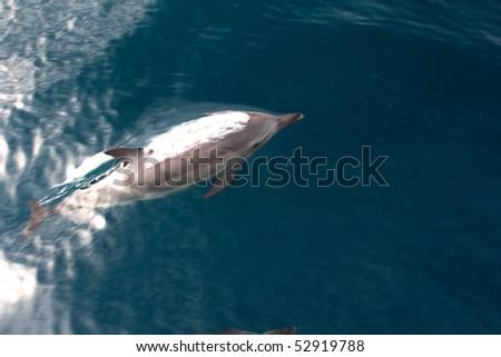 Dolphin swimming in the sea - stock photo