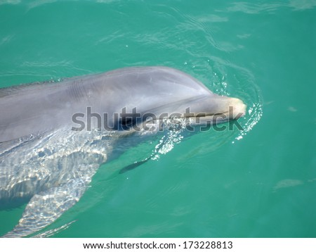 dolphin swimming in the water of the carribean sea - stock photo