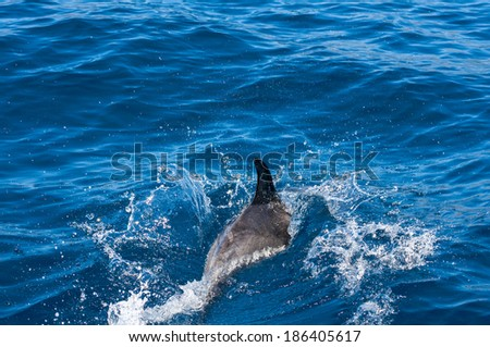 Dolphins at the south coast of Tenerife. Canary Islands. Spain - stock photo