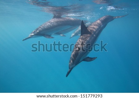 Dolphins diving after a quick breath - stock photo