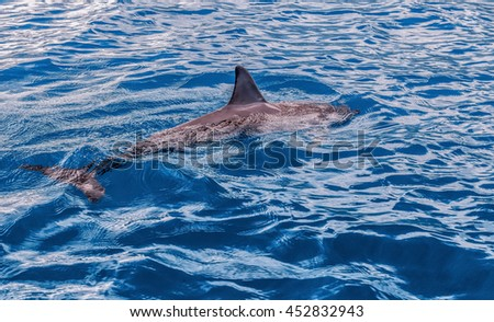 Dolphins in the french polynesian islands - stock photo