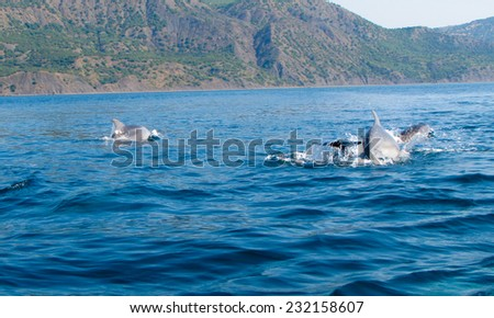 Dolphins jumping through the waves in the sea water. Blue sea with mountains on the horizon. - stock photo