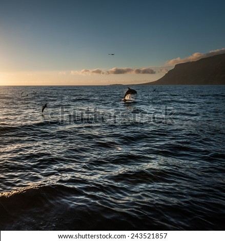 Dolphins swim in the ocean at sunset Canary Islands, Tenerife - stock photo
