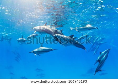 Dolphins Swimming in the Ocean, Amazing Underwater View - stock photo