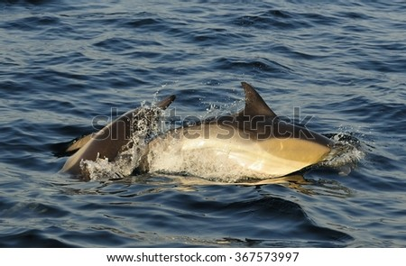 Dolphins, swimming in the ocean  and hunting for fish. The jumping dolphins comes up from water.The Long-beaked common dolphin (scientific name: Delphinus capensis) swim in atlantic ocean.South Africa - stock photo