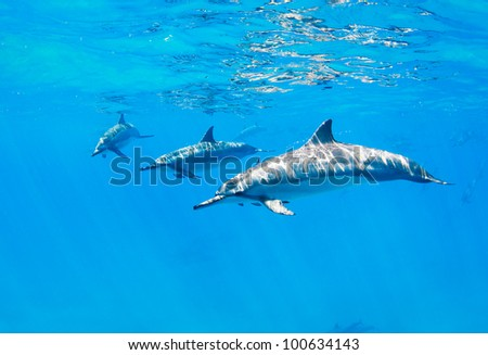 dolphins swimming underwater, tropical ocean - stock photo