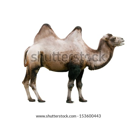 Domestic Bactrian Camel (Camelus bactrianus) cut out on white background - stock photo