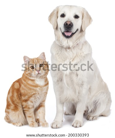Domestic cat and golden Retriever - stock photo