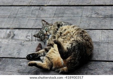 Domestic cat being played on the wooden floor - stock photo