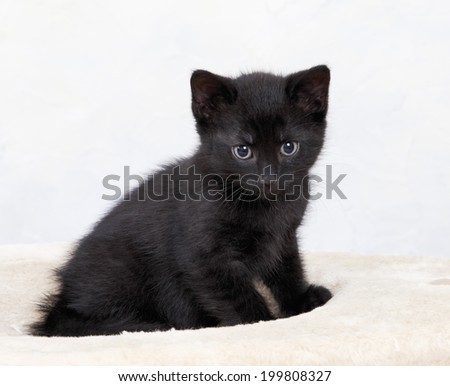 Domestic cat, black kitten - stock photo