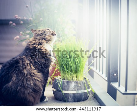 Domestic cat eating cat-grass in pot on balcony. - stock photo
